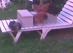Moellons jeunes coqs et jeunes poules